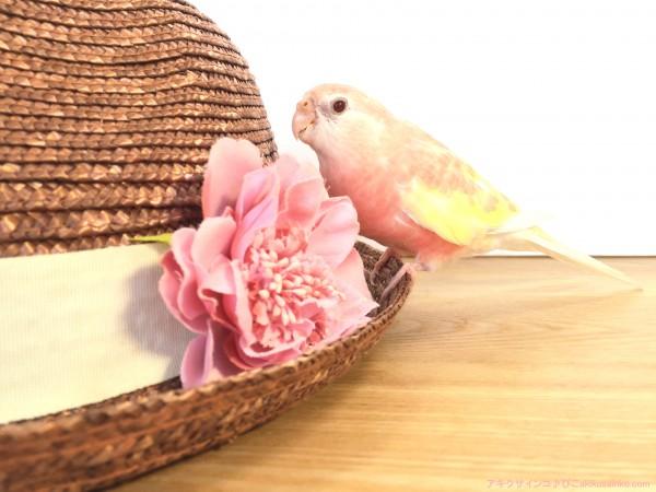 帽子とぴこ